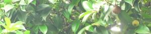 Mangosteen(manggis) Garcinia mangostana
